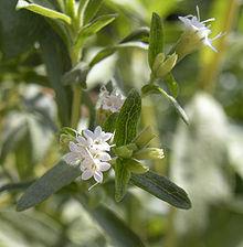Stevia Flowers